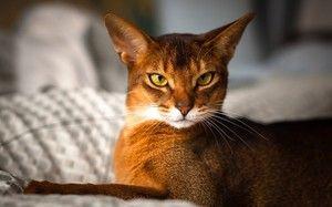 Aspectul unei pisici abisiniane