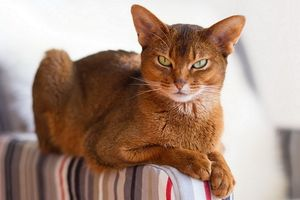 Pisica abisiniană - prevenirea bolilor