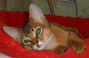 Pisica abisiniană se odihnește