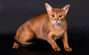 Pisici abisiniane - caracteristicile rasei