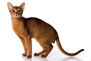 Pisica abisiniană