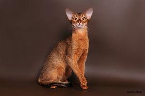 Fotografie pisică abisiniană