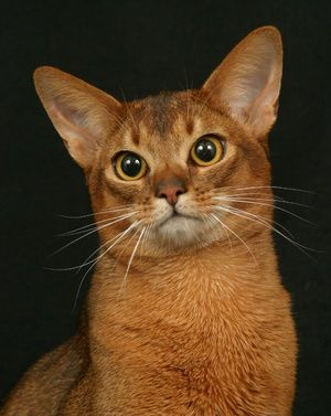 Capul pisicii abisinian este mare