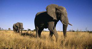 Elephant african - descriere