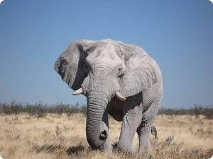 Savantul elefant - habitat
