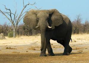 Elefantul african - animale rare