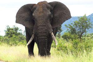 Elefantul african - obiceiuri, alimente