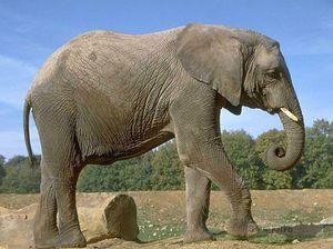 Cum se înmulțesc elefanții