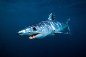 Mako rechin negru-throated