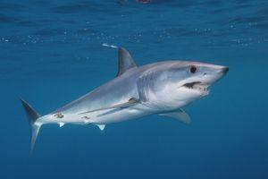 Reproducerea rechinilor cu negru