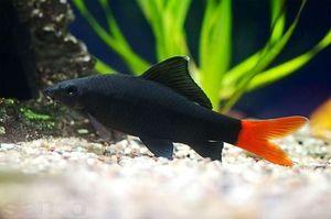 Hrănirea peștelui Labeo
