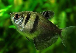 Pește de spin