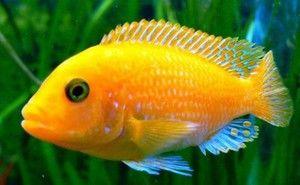 Cichlide de pește de acvariu: descriere și specie