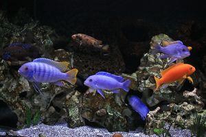 Hrănirea cichlidelor de acvariu