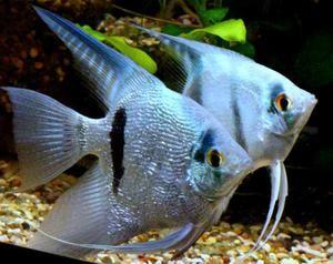 Pestele de pește de acvariu