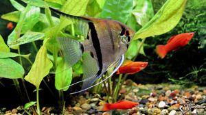 Menținerea peștilor de scalari și îngrijirea lor