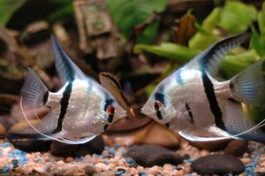 Conținutul peștilor scalari