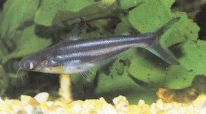 Pește Pangasius