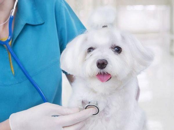 Amoxicilina pentru câini