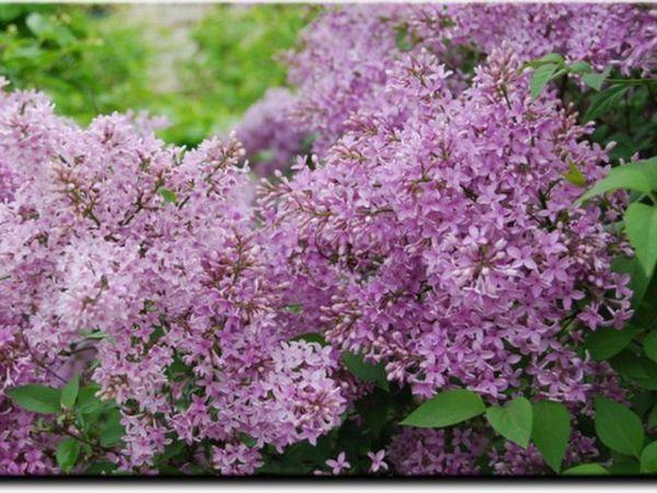 Cum să crească lilacii Amur