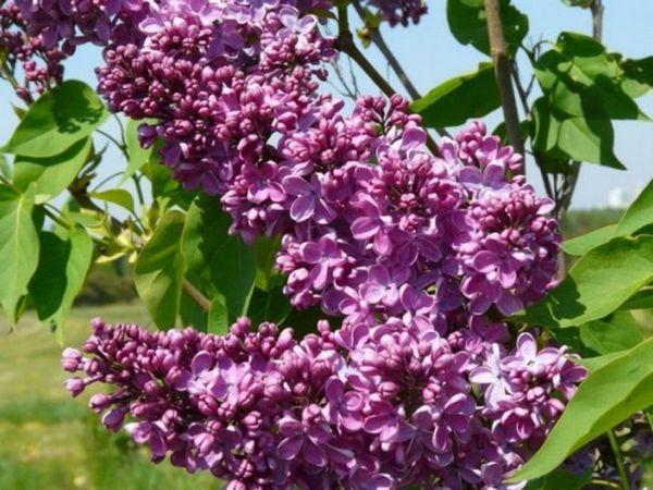 Caracteristicile varietății de liliac