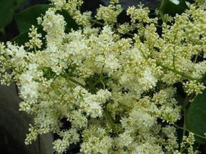 Lilac Amur