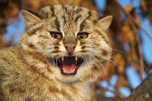 Amur pisică forestieră - caracteristică