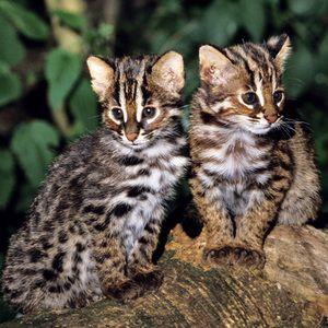 Cute pisici de pisica Tsushima