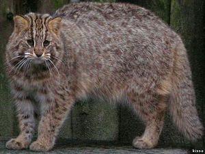 Amur pădure pisică - culoare animală