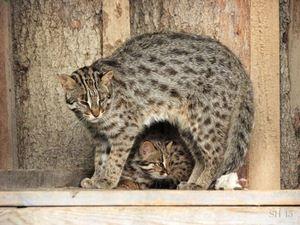 Tsushima pisică și pisoi