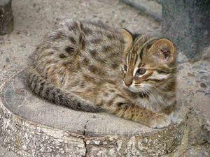Amur pisică de pădure acasă