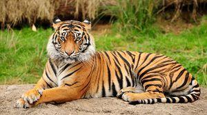 Amur tigru - o pisică imensă din paginile cărții roșii