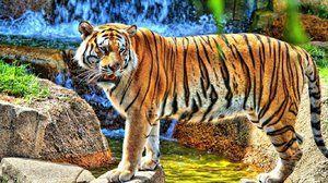 Amur tigru - trăsături distinctive