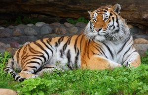 Amur tigru odihnitor