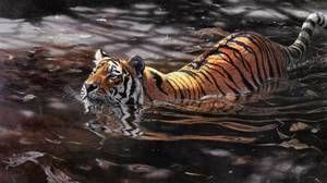 Tigrul siberian nu se teme de apa