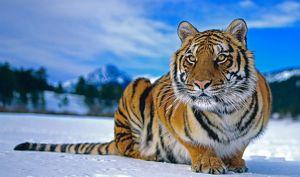 Siberian tigru iarna