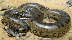 Anaconda lungime