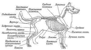 Anatomia câinelui: structura internă și externă a corpului