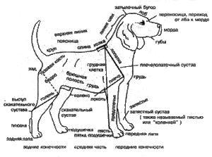 Anatomia câinelui