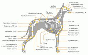 Organele interne ale câinelui