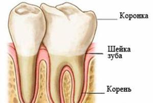 Structura dinților: descriere