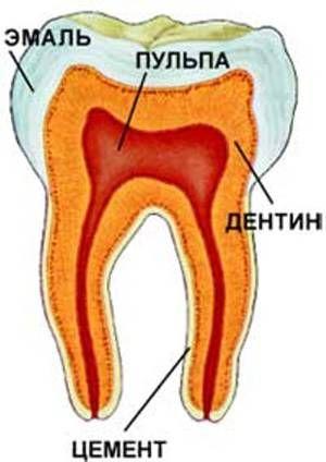 Descrierea structurii dintelui