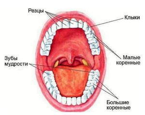 Care este numele fiecărui dinte din om?