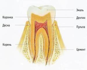 Cum este aranjat dintele