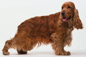 Ce rasă bună de câine este un cocker spaniel