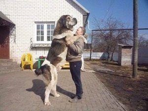Armeană lupul gambru este o rasă de câini mari și puternici