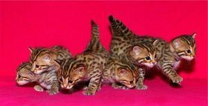 Pisici bengaleze