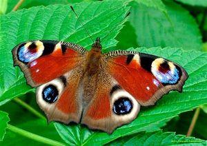 Butterfly Peacock Eye: Caracteristici și caracteristici