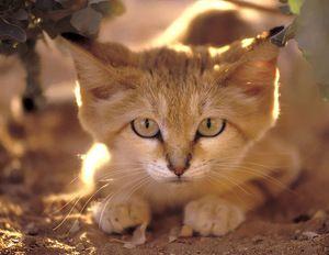 Descrierea aspectului unei pisici de catifea
