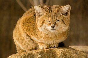 Pisică rare catifelată